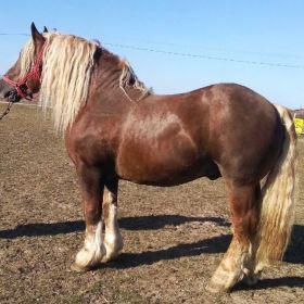 Sprzedam konie zimnokrwiste i inne