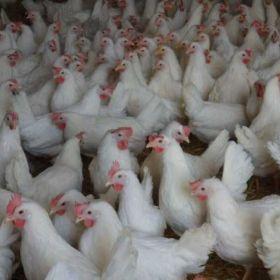 Kury nioski ,Gęsi ,perliczki ,kurczaki gołoszyjki