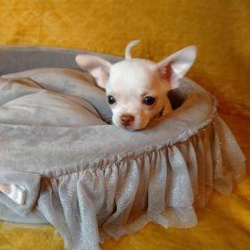 Chihuahua***Chłopczyk***Ostatni***Biały***